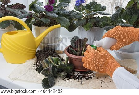 Flowerpots, fertilizer, plant sprout, soil pile on windowsill. Female hands fertilizing potted flowers in room. Indoor flowers care and home gardening.