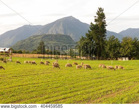 Sheep Grazing In The Fields Of Los Rios Region, Valdivia Zone, In Southern Chile, Araucania Andean