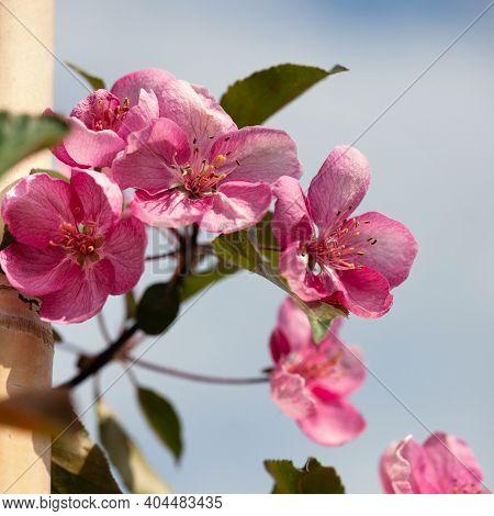 Apple Tree (malus Domestica) Blossoms In The Springtime