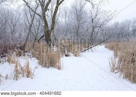 Woodland Trees Coated With Hoar Frost And Snowy Trail Along Marsh In Winter Landscape