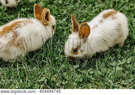 A Group Of Domestic Rabbits Sitting Outdoors.little Rabbits Eating Grass.newborn Animals In Grass.fu