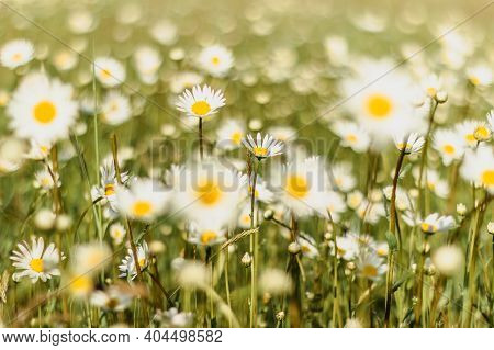 Detail Of Daisy Flowers. Spring Flower Close Up.wonderful Fabulous Daisies On A Meadow In Spring. Sp