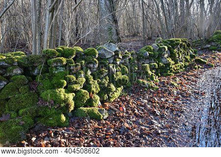 Sunlit Moss Covered Dry Stone Wall In A Fall Colored Forest