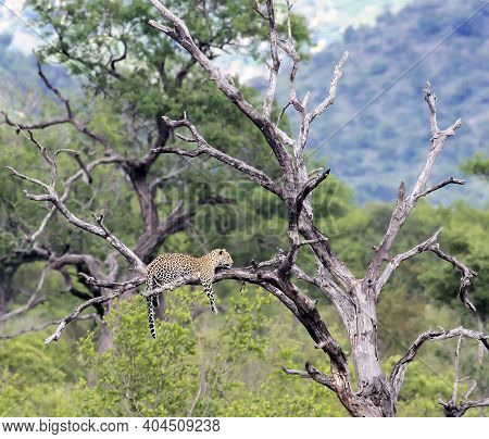 A Wild Leopard Lies On A Dry Tree With Its Paws Hanging Down. A Large Leopard Is Lying Quietly On Th