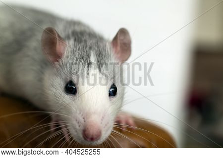 Closeup Of Funny White Domestic Rat With Long Whiskers.