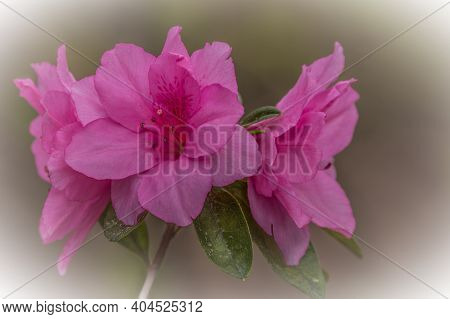 Trio Of Magenta Color Azalea Flowers Clustered Together With A Soft Muted Vignetting For Backgrounds