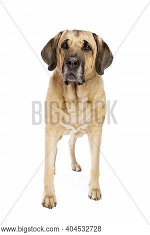 Broholmer Dog
