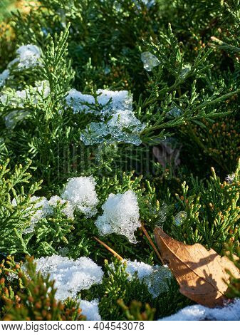 Bright Green Juniper Branches With The Remnants Of Snow Are Illuminated By The Sun, The First Days O