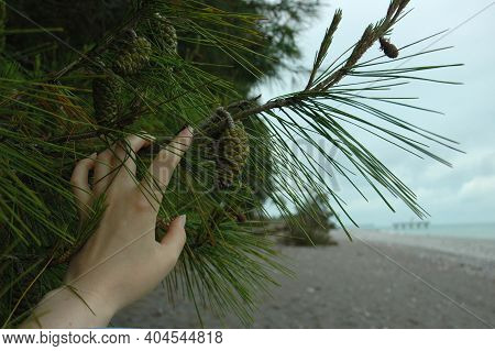 A Pinecone On A Pine Tree. Pine With Long Needles Grows On The Coast Near The Sea. Pine Cones Grow O