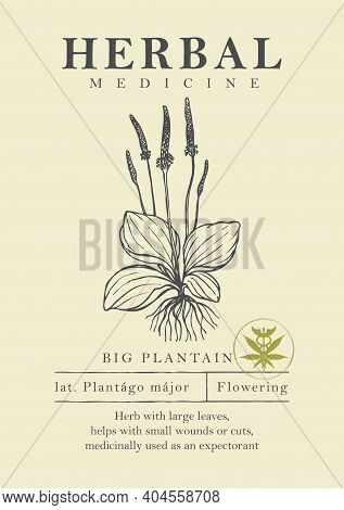 Botanical Illustration Of A Hand-drawn Plantain Plant In Retro Style. Vector Banner Or Label For Gre