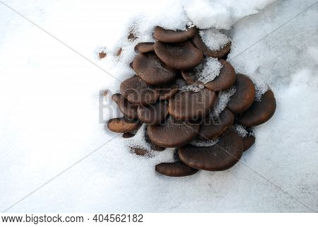 Mushrooms In The First Snow. Pleurotus Is A Genus Of Gilled Mushrooms That Includes One Of The Most