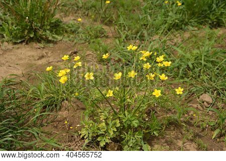 Ranunculus Acris (meadow Buttercup, Tall Buttercup) With Her Yellow Flowers