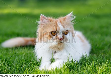 The Cute Persian Cat Is Sitting On A Green Grass Field, Selective Focus Shallow Depth Of Field