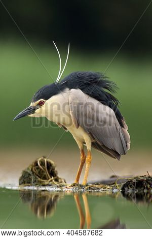 The Black-crowned Night Heron (nycticorax Nycticorax) Watching For Fish In Shallow Water.little Nigh