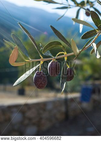 Organic olives growing on olive tree with sunlight background, Close up olive fruit on tree branch, Eco farm products, healthy vegetarian food