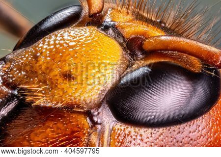 Micro shot of hornet insect. Head and eyes details are well seen on the picture.