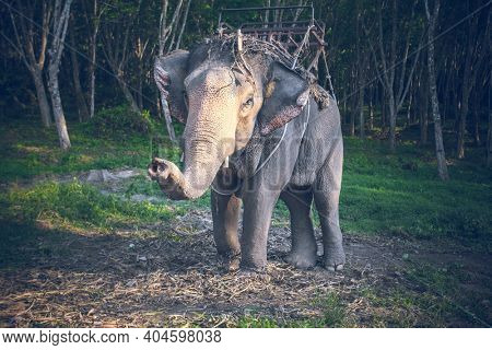 Thailand, riding elephant looks camera at background of jungle and green grass ground. Exotic animal in wild nature of Asia. Epic landscape of tropical forest of Asian sanctuary in soft cinematic tone