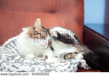 A Domestic Fluffy Cat Lies On The Sofa And Scratches Its Ear With Its Paw. A Cute Mongrel Cat Itches
