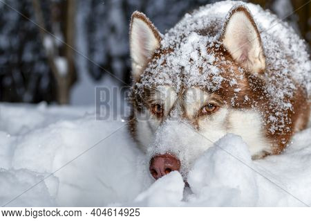 Red Siberian Husky Dog Lies On The Snow In The Winter Forest. Husky Dog Covered In Snow Looks At The