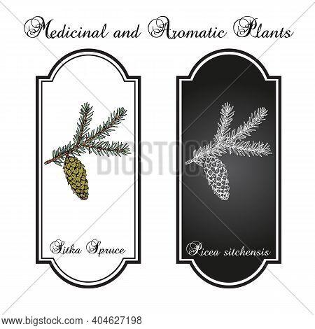 Sitka Spruce Picea Sitchensis , Coniferous, Evergreen Plant. Hand Drawn Botanical Vector Illustratio
