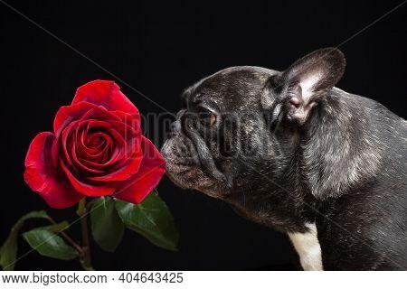 Image Of Dog Flower Dark Background Studio