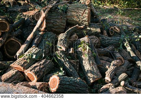 Old Dangerous Trees Are Being Cut Down In Cities. The Process Of Sawing A Tree Trunk. The Trunks Of