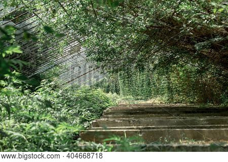 Large Abandoned Greenhouse Overgrown With Greenery And Bushes. Room Is Overgrown With Vines. Remains