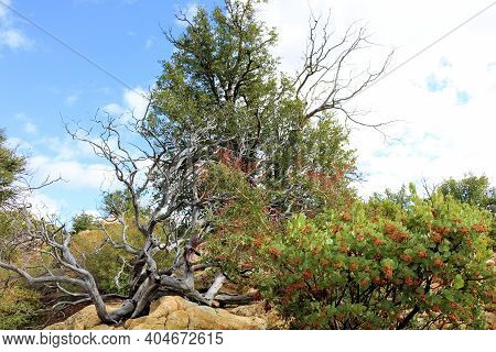 Chaparral Plants Besides Oak Trees On A High Desert Mountain Ridge Taken At A Chaparral Woodland In