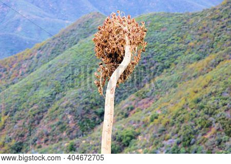 Dried Yucca Plant Flowers Overlooking Arid Hills Covered With Chaparral Plants Taken In The Rural So