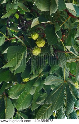 Chestnut Leaves And Chestnuts. Large Dark Leaves . Ornamental Motif Of The Beginning Of Autumn. Fan-