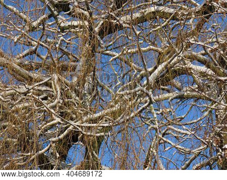 Bare Weeping Willow Branches Under White Snow In Winter, View Upwards With Blue Sky