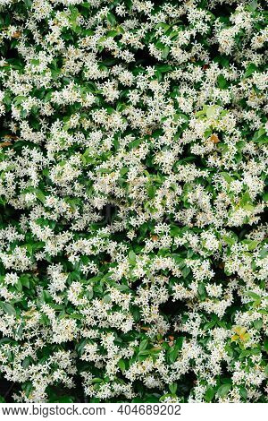 Close-up Of Bushes With Small Jasmine Flowers.