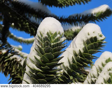 Green Young Araucaria Branches Under White Snow In Winter, Close Up