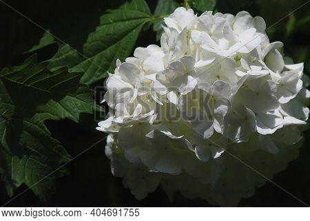 White Flower In Full Bloom Isolated Against Dark Leafy Background