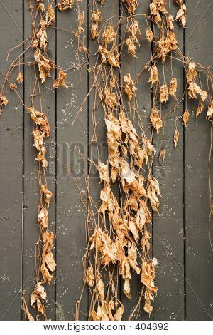 Ivy In Winter