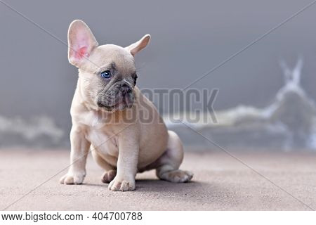 Young Lilac Fawn Colored French Bulldog Dog Puppy In Front Of Gray Background