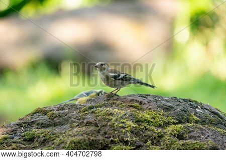 A Detailed Sparrow, Onotrichia Leucophrys, Sits On Top Of A Large Stone, With A Hazy Green And Yello