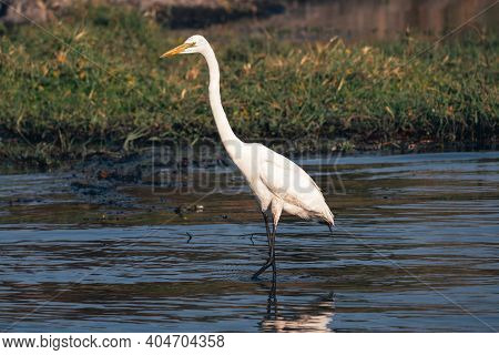 Great Egret (ardea Alba), Also Known As The Common Egret, Large Egret, Or Great White Heron Wading I