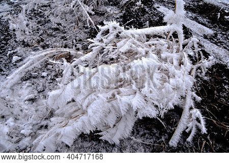A Cluster Of Weeds Covered With A Thick Layer Of Hoar Frost In Foggy Conditions.