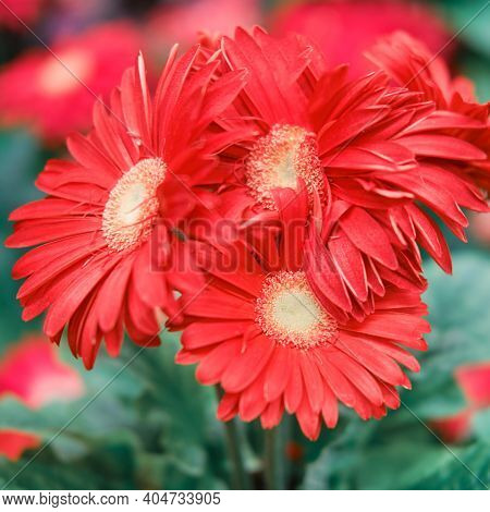 Gerbera Flowers Are Similar In Shape To The Flowers Of Representatives Of The Chamomile Genera. The