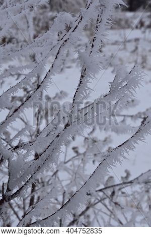A Shrub Bush Is Covered With A Heavy Layer Of Hoar Frost In A Frosty And Foggy Environment