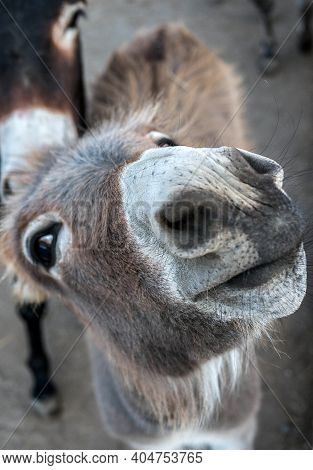 Funny Animal Looks Into The Camera Lens, Donkey Close-up Face, Animal Poses To The Camera.