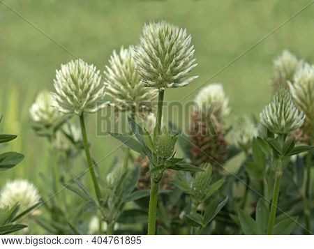 White Flowers Of Sulphur Clover, Trifolium Ochroleucon, Growing In A Garden