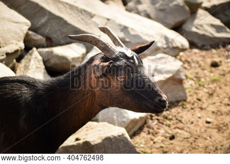 A White And Black Goat In The Farm. Breeding Goats For The Production Of Goat Cheese.