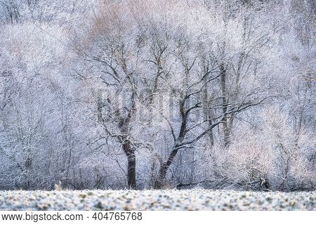 Winter Sunrise. Winter Landscape With Trees Covered With Hoarfrost In Evening Sunlight. Christmas Ev
