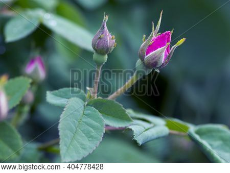 Red Rose Bud. Delicate Bud Of A Pink Rose Flower With Green Leaves On A Natural Blurred Background.