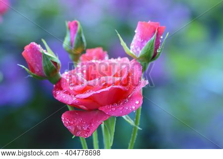 Beautiful Delicate Pink Rose Flower With Buds. Garden Pink Rose Buds On A Blurred Background Of Gree