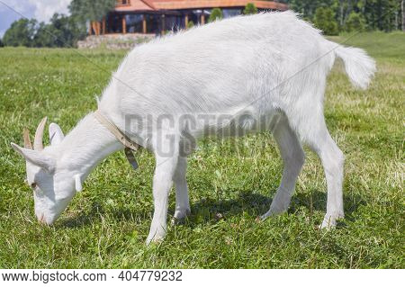White Goat With Horns Eating Grass In The Village. Cute Goat. Grazing Cattle. Pasture On A Summer Su