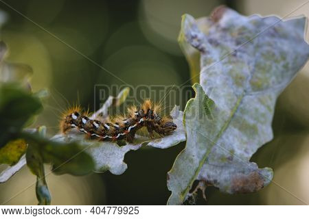 A Large Furry Caterpillar On The Leaves. Macro Pictures, Beautiful Nature. Pests, Close-up Of A Beau