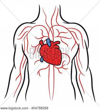 Human Heart, Circulation Cardio Vascular System, Anatomy, Healthy Body, Medical Health Care Concept,